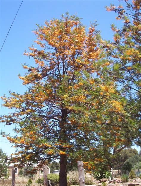 buy tree grevillea robusta silky oak blerick trees buy