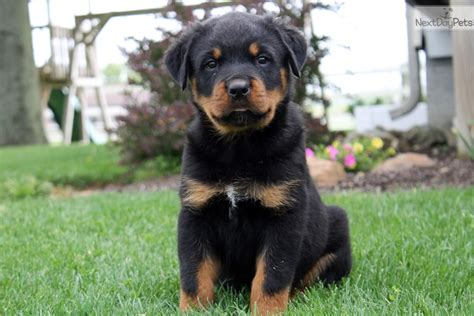 rottweilers for sale near me rottweiler puppy for sale near lancaster pennsylvania 4eb9a67b 2041