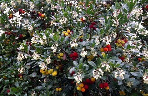 corbezzolo in vaso la coltivazione corbezzolo fiori e frutti insieme