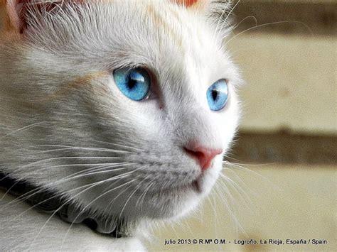 Imagenes Ojos Blancos | imagenes de gatos blancos con ojos azules