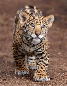 Jaguars Cubs Jaguar Cubs Continue To Until They Are 5 6 Months