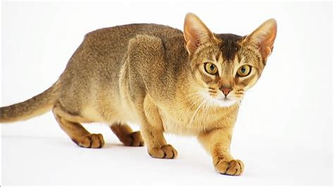 cat breed abyssinian cat picture and images