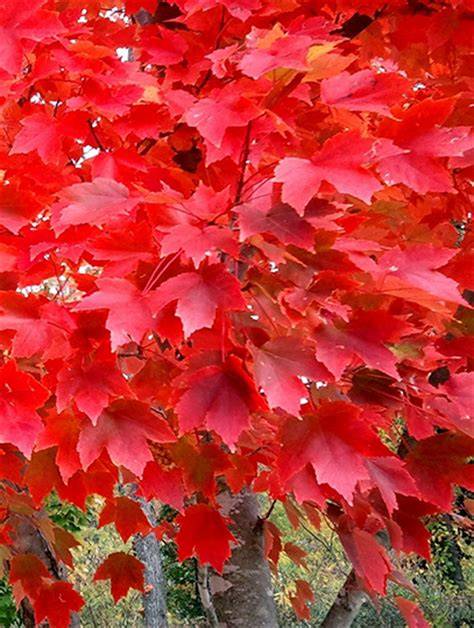 maple tree pros and cons autumn blaze maple pros and cons pictures to pin on pinsdaddy