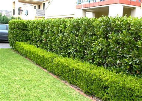 Landscape Hedges Pictures Viburnum Hedge Http Camelliaparknursery Au Hedging