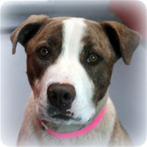 pitbull puppies las vegas 705 best memorial page for animals that humans failed images on shelter