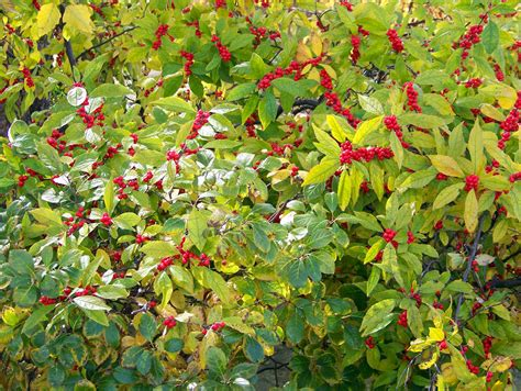 bushes with berries 28 images what if i poison myself northlight nannies shrub with red