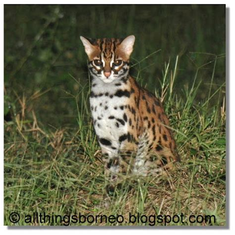 Leopard House Cat by