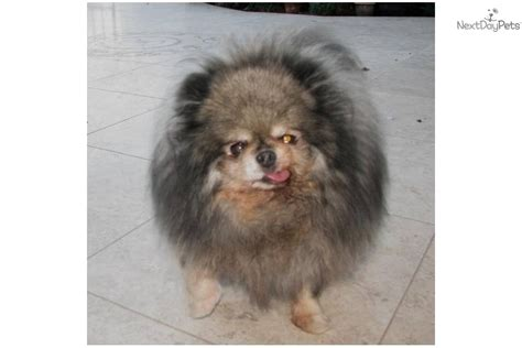 nose pomeranian for sale adopt a pomeranian puppy for debarked with extrem nose