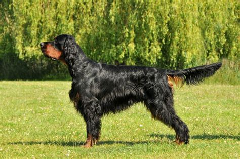 gordon settee gordon setter info temperament care training puppies