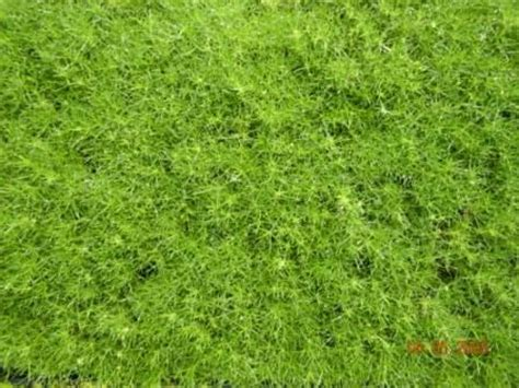 sagina subulata quot irish moss quot ground cover for shade