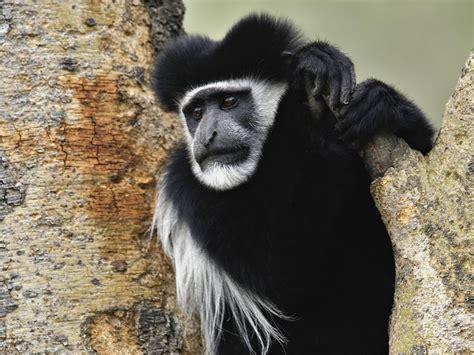 black monkey black monkey best animals