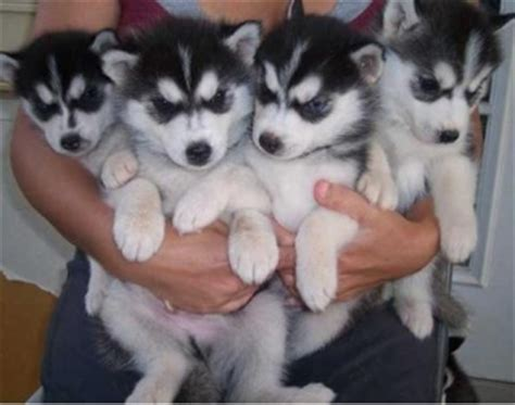 husky puppies for adoption in ny gorgeous lovely siberian husky puppies for adoption new york for sale new