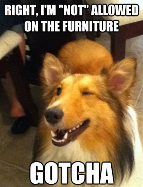 Meme Gotcha - not allowed on the furniture gotcha pictures photos and