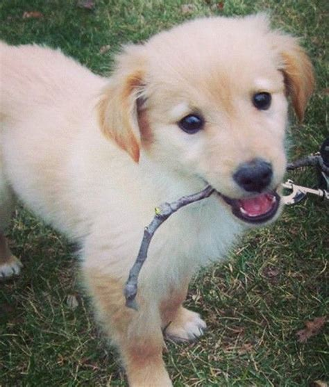 gollie puppies gollie puppy obsession pets and dogs