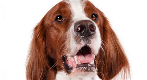 american setter dog irish red and white setter dog breed information