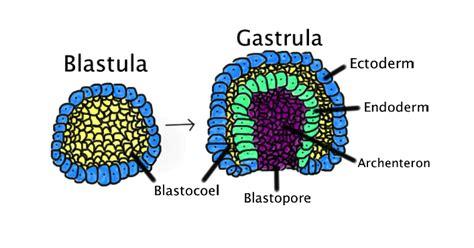 blastula diagram file blastula png wikimedia commons