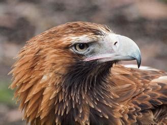eagles animals  english