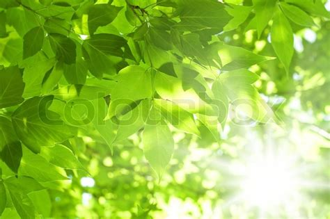 beautiful green leaves and bright sun stock photo colourbox