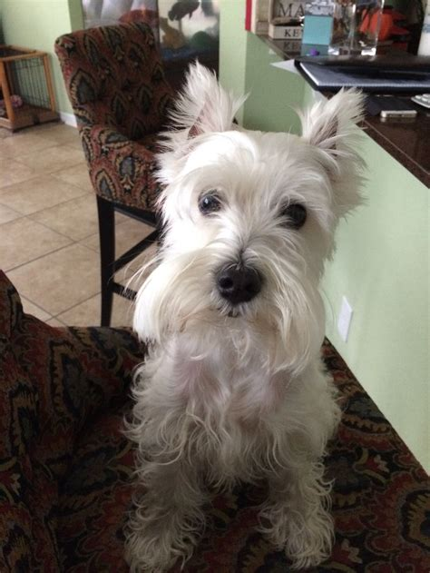 this looks exactly like rambo when we cut his hair and 635 best images about westies on pinterest white terrier