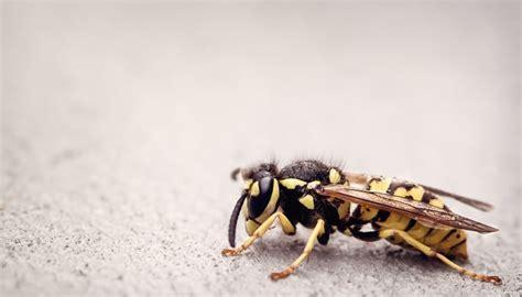 wespen im garten vertreiben wespen vertreiben 7 tipps tricks haushaltstipps net