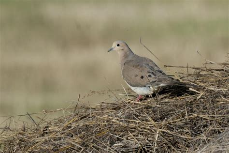 dove season a winner for conservation in nebraska
