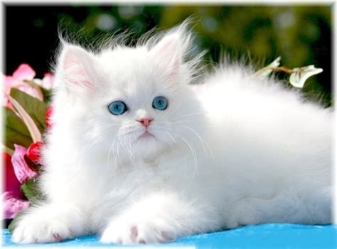 Persian Cat Breeds   Fun Animals Wiki, Videos, Pictures