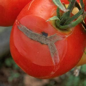 names of fungal diseases in plants list of garden plant diseases grey mould