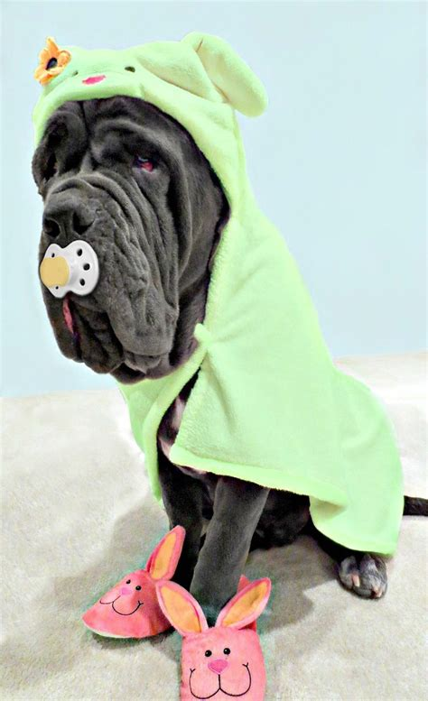 neapolitan mastiff puppies for sale cheap 25 best ideas about neapolitan mastiffs on neopolitan mastiff mastiff