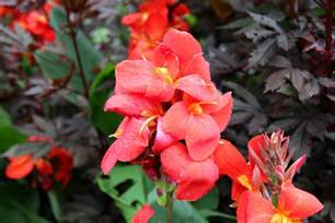 Small Kitchen Reno Ideas Growing Canna Tropical Perennials For The Garden