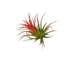 Decorative Wreaths For Home Tillandsia Ionantha Red Corsa Air Plants Webshop