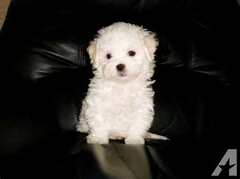 10 week puppy schedule maltipoo maltese poodle white puppy 10 weeks for sale in fremont