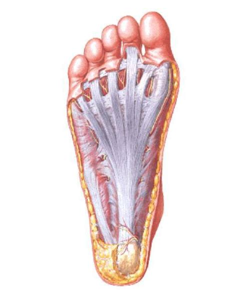Planters Faceitis by Causes Of Plantar Fasciitis Integrative Chiropractic