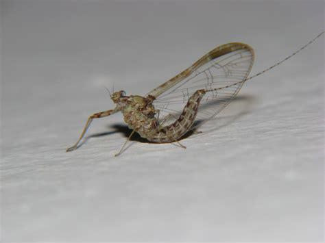 vermi sul soffitto larve di plodia interpunctella sul soffitto della cucina