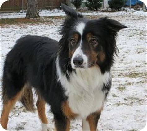 rescue wi midwest wi il mn wi border collie meet molly a for adoption