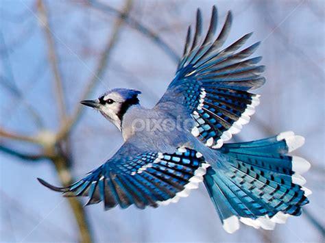 blue jay in flight www pixshark com images galleries