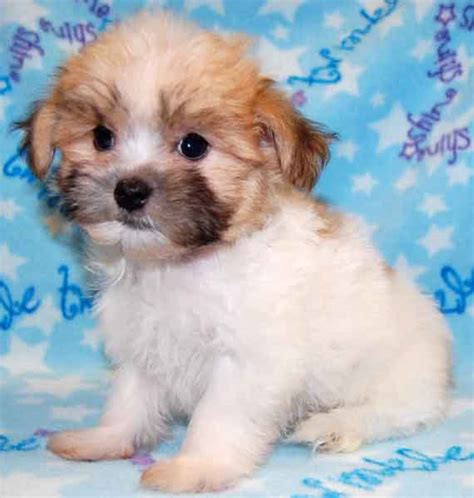 pomeranian shih tzu pups pin hoobly precious shiranian shih tzu pomeranian mix puppies on