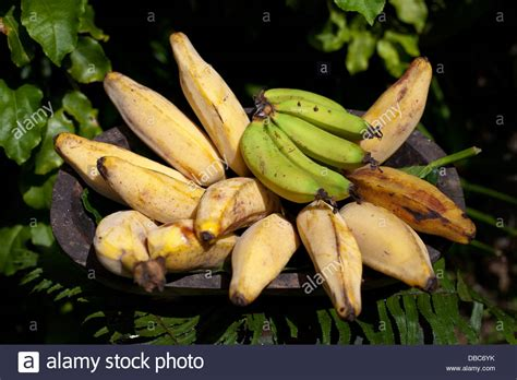 guide to six different types of bananas different types of bananas in wooden bowl displayed in a