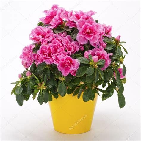 azalea in vaso fioritura rosa azalea in un vaso giallo foto stock