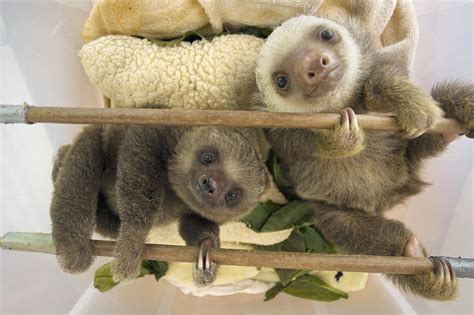 Animal Shower Curtain Hoffmanns Two Toed Sloth Orphaned Babies Photograph By