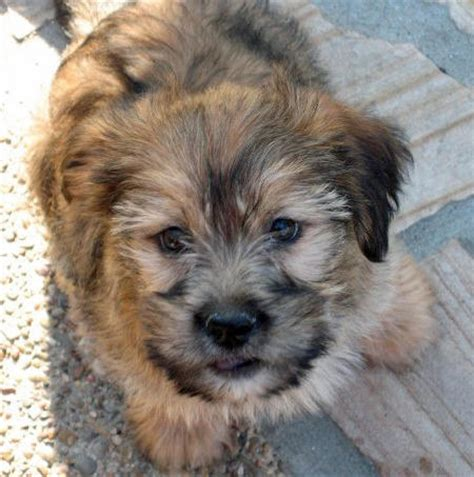 yorkie cross lhasa apso lhasa apso beagle mix beagles