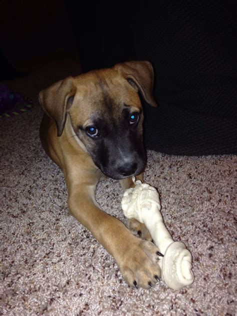 boxer shepherd puppies 1000 ideas about boxer shepherd mix on shelter dogs black and