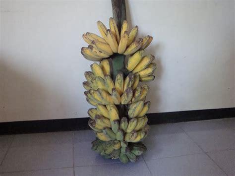 Benih Pisang Ambon kbh salaman in beberapa koleksi pisang di kbh salaman