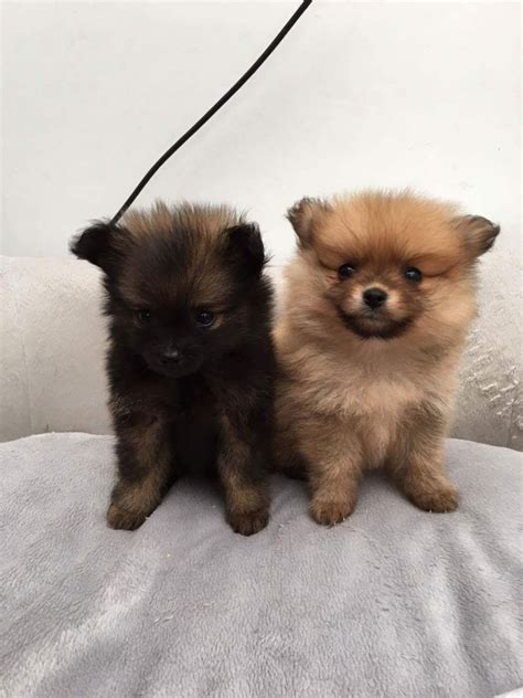 miniature teddy pomeranian puppies 2 beautiful miniature teddy pomeranian puppys manchester greater manchester