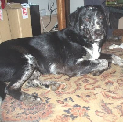 rovera for dogs rover 3 4 year collie cross labrador for adoption