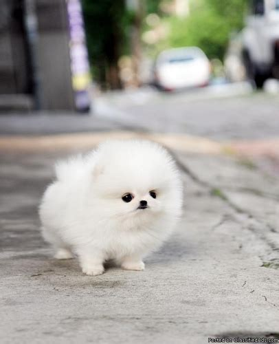 baby pomeranian price poshfairytail teacup pomeranian price 4000 for sale in richmond california