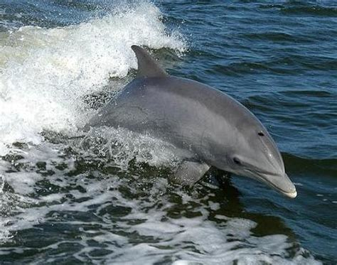 Bottle Nosed Dolphin (Tursiops Truncatus) - Animals - A-Z ...