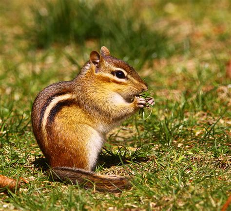 chipmunks eat grass flickr photo