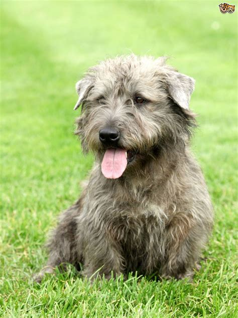 terrier breeds vulnerable uk breeds the terrier pets4homes