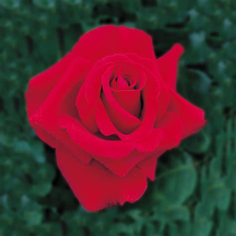rose royal royal william highly recommended popular searches