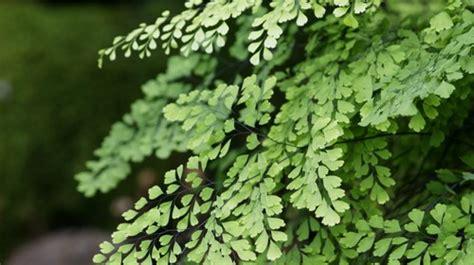 engelshaar pflanze maidenhair fern burke s backyard
